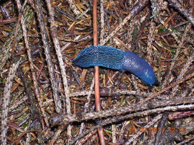 . Modranka karpatská (Bielzia coerulans)